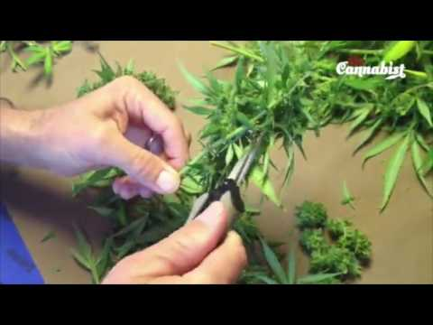Cannabutter prep from scratch: Trimming flowers on a marijuana plant - Cannabis Food Tips